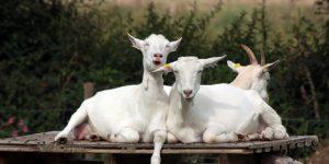 goats laughing | pixabay
